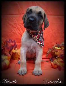 Fawn Great Dane puppy for sale in Ocala