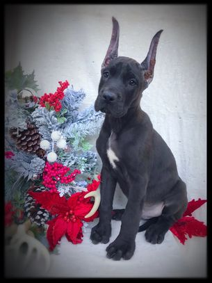 Black Great Dane puppy for sale in Ocala