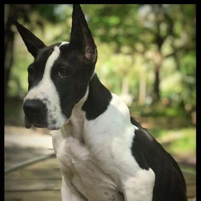 Echo black and white mantle Great Dane in Ocala