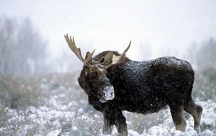 A moose wanders through its winter range. (Photo Stephanie Pierce.)