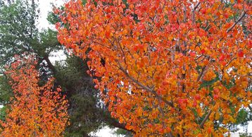 Fall color in Las Vegas. Photo by Perennial Garden Consultants.