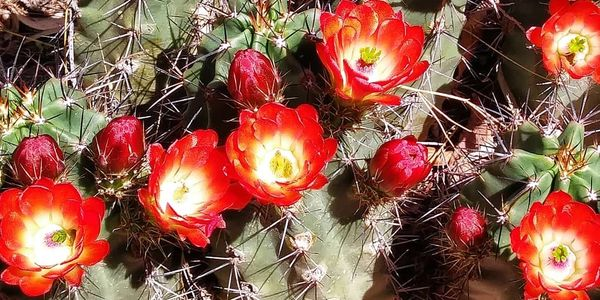 Claret cup cactus, photo by Perennial Garden Consultants