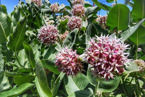 Showy milkweed, Asclepias speciosa. Photo by Perennial Garden Consultants.