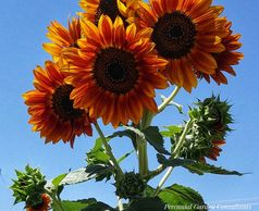 Fall color sunflowers. Photo by Perennial Garden Consultants.