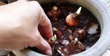 Planting bulbs in a pot. Photo by Perennial Garden Consultants.