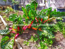 Swiss chard, tasty and ornamental. Photo by Perennial Garden Consultants.