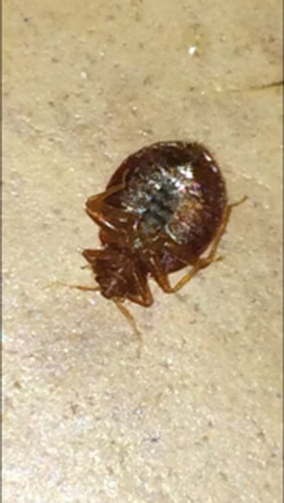 Adult bed bug after a meal