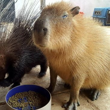 Capybara and Porcupine