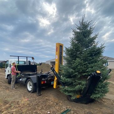 Tree spade Blue Colorado Spruce