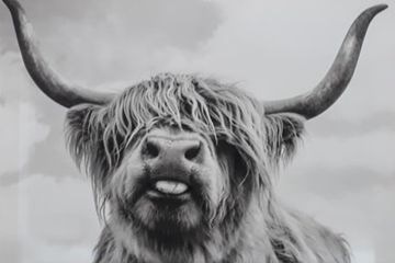 Cheeky Highland Cow Canvas