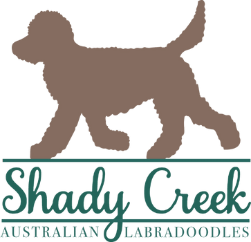 Shady Creek Australian Labradoodles