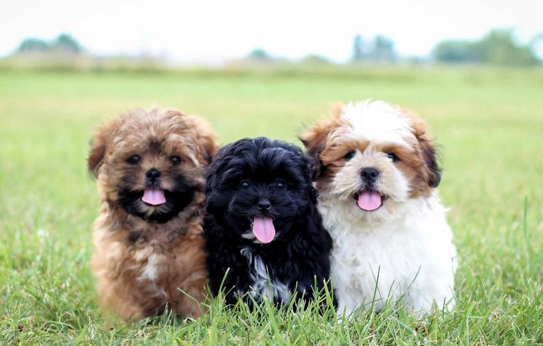 Stonyridge Puppies For Sale Teddy Bear Shichon Puppies Shihpoo
