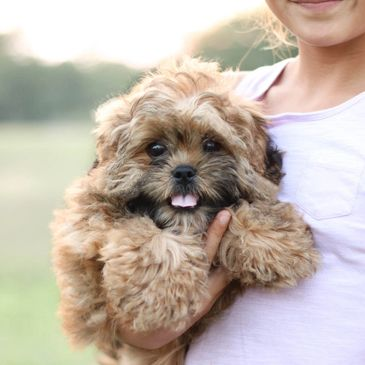 Shichon, Shihpoo, Shichon puppies, teddy bear puppies, puppies for sale, dogs for sale, shitzu mix