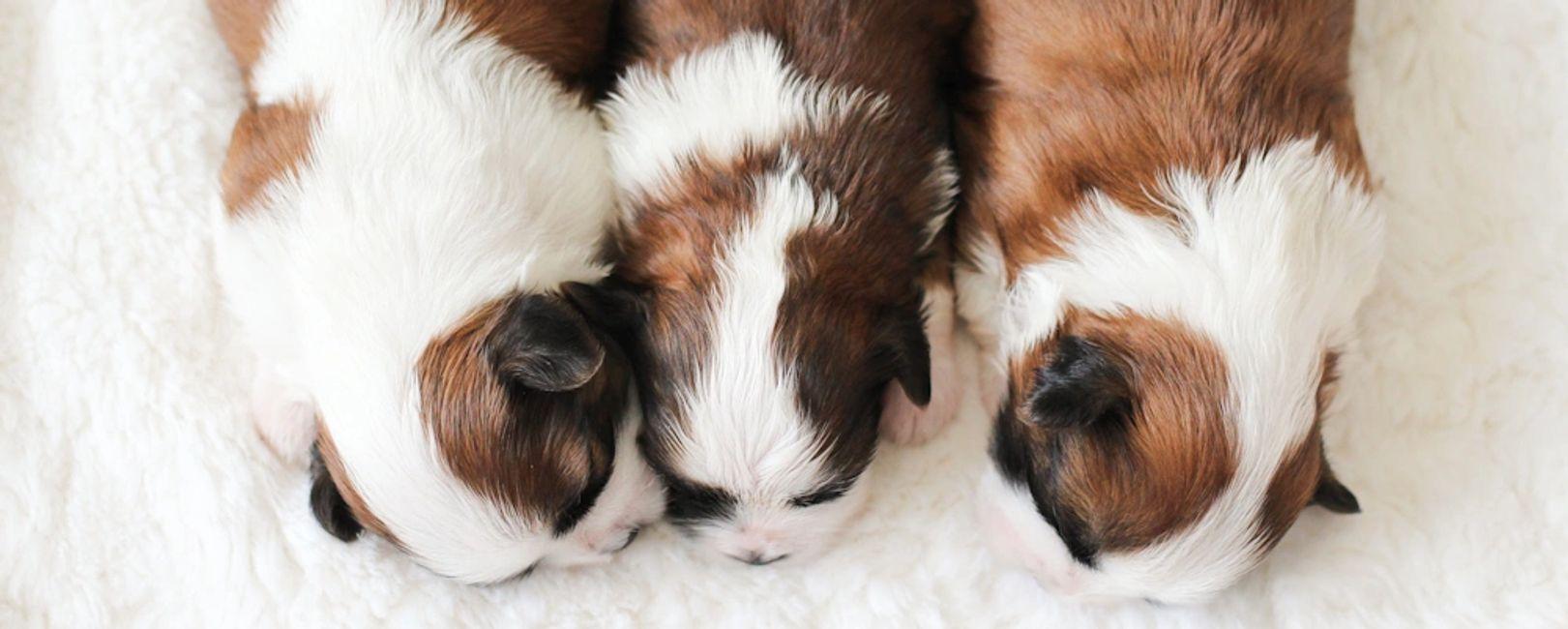 StonyRidge Puppies for Sale: Shichon | Shihpoo | Teddy Bear