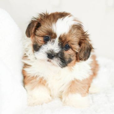 Shichon, Shihpoo, Shichon puppies, puppies for sale, Teddy Bear puppies, shichon breeder, shitzu mix