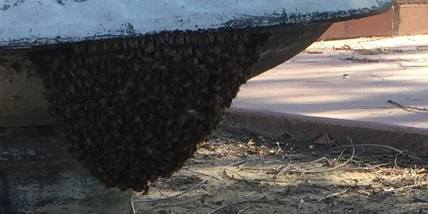 Swarm of bees on a fountain