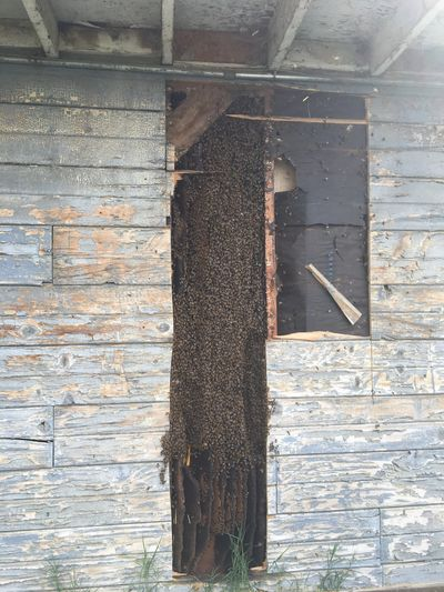Huge colony of bees in a wall in Bakersfield!