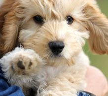 Cockapoo Puppies for Sale - Rathrush Kennels