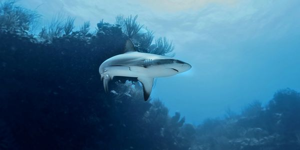 Dive sites: Reef shark at Ginger steps