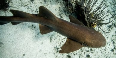 Dive sites: Nurse shark at Wall to wall