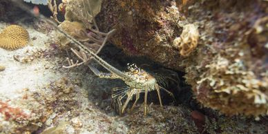 Dive sites: Lobster at the Visibles