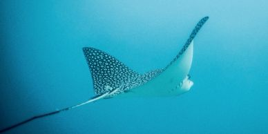 Dive sites: Eagleray at Flinstones