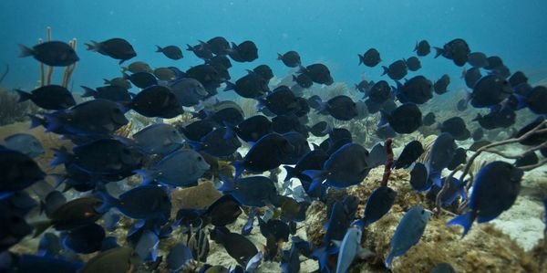 Dive sites: Big school of Blue Tangs on Cromis Reef