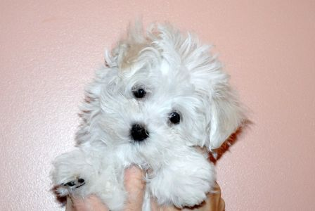 One of our beautiful Maltese puppies