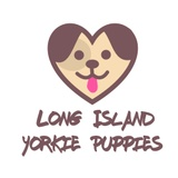 Yorkie Puppies of Long Island