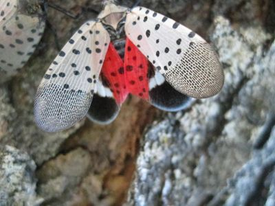 SLF FACTS! | Spotted Lantern Fly