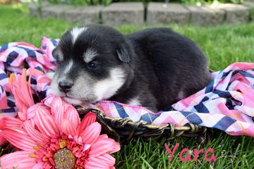 Available Females | Souththern Minnesota Pomskies