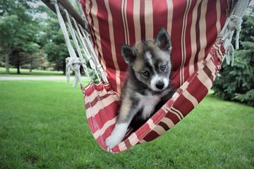 Pomsky puppy for sale in Minnesota