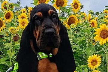 This beautiful bloodhound currently training in our nonprofit volunteer foster program.