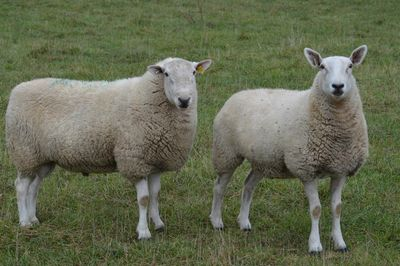 North Country Cheviot Ram and Ewe at Maloy Valley Farm