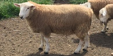 North Country Cheviot Ram Lamb