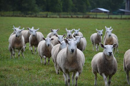 North Country Cheviot Ewes at Maloy Valley Farm