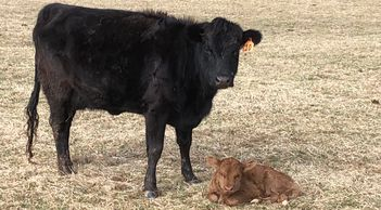 Irish Dexter Cow and Calf at Maloy Valley Farm