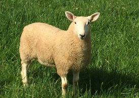 North Country Cheviot Ewe Lamb at Maloy Valley Farm