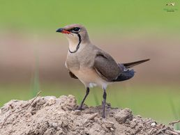 A collared Pratincole, discovered on a one of our bird watching tours