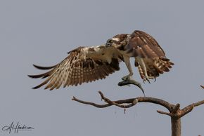 Osprey photography is very popular on the Ebro River boat bird watching tour