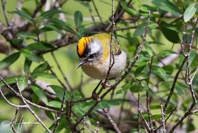 Firecrest can be located with relative ease on our mountain birding tour