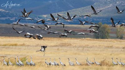 Birds like Common Crane are not regular on the Ebro Delta, but they're not far away!