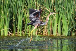 A Purple Heron erupts from riverside reeds on our bird watching boat tour of the Ebro Delta.