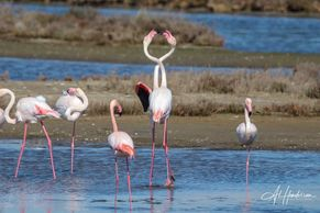 Greater Flamingos are the bird most synonymous with the Ebro Delta Birding experience