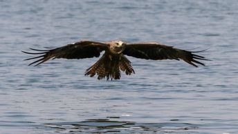 Black Kite swoops down to take an offering from the surface. Viewed on the Ebro River boat tour