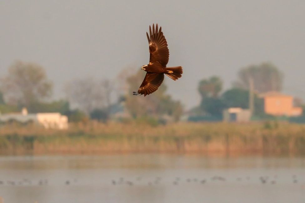 Marsh Harrier is a raptor that can be seen regularly with Ebro Delta birding in Spain
