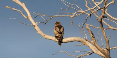Booted Eagle, Ebro delta birding, bird watching in Spain, birding tours of the Ebro delta