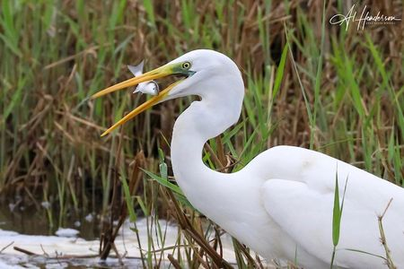 Great White Egret captures a mullet, seen on a bird watching tour of the Ebro Delta.