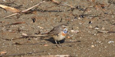 Bluethroat, Ebro delta birding, bird watching Spain, birding in Spain, bird watching tours