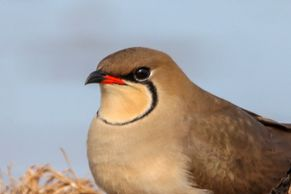 Collared Pratincole viewed on a birding tour of the Ebro Delta